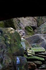 Snow Leopard (elrina753) Tags: nyc newyorkcity usa cats newyork animals unitedstates bronx bronxzoo felines mammals snowleopard bronxpark pantherauncia