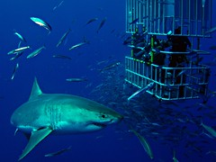Cage Diving w/Great White Sharks (DiLyBe) Tags: white mexico island shark explorer great scuba diving cage guadalupe isla nautilus