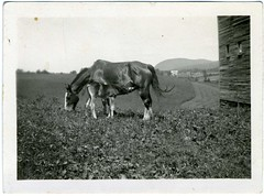 Snapshot: Mare And Foal (mrwaterslide) Tags: old horses horse newyork vintage found mare antique farm snapshot snap oldphoto vernacular nursing dealer suckling foal antiqueshow purchased madisonbouckville