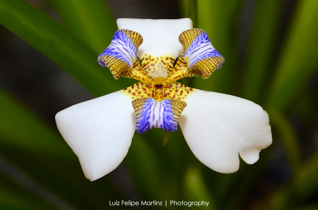 Íris no quintal (Luiz Felipe Martins) Tags brazil flower beautiful brasil colorful cabofrio