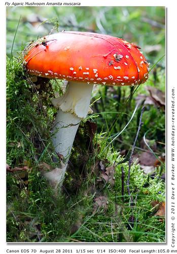Fly Agaric Mushrooms Amanita muscaria Ellerbaeck Coppull Nr Chorley Lancashire