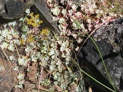 Broad-leaved Stonecrop (Sedum spathulifolium) (maureenlafleche) Tags: succulent bc nanaimo vancouverisland sedum yellowflowers groundcover sedumspathulifolium broadleavedstonecrop