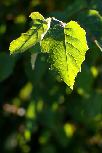Late Summer Leaves by dcclark