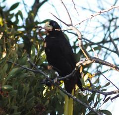Crested Oropendola (Psarocolius decumanus) (Dwine76) Tags: bird birds coyotehills psarocolius decumanus ebparksok