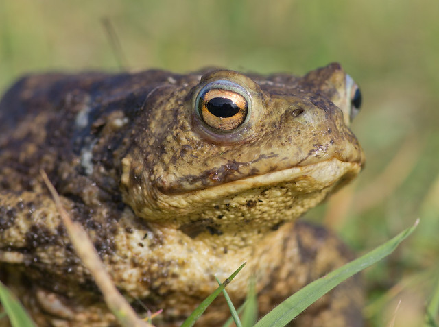 common toad close up 2