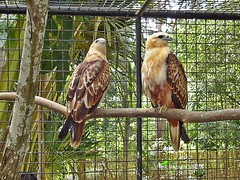 The Raptors (leszee) Tags: kite bird birds animal philippines aves bohol prey indus raptors animalia birdsofprey birdofprey philippine santafilomena seaeagle the alburquerque subadult accipitridae redbacked haliasturindus haliastur theraptors redbackedseaeagle braminy philippinebraminykite