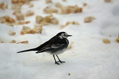 Pied Wagtail (peter harris41) Tags: garden piedwagtail ormesby winter2010