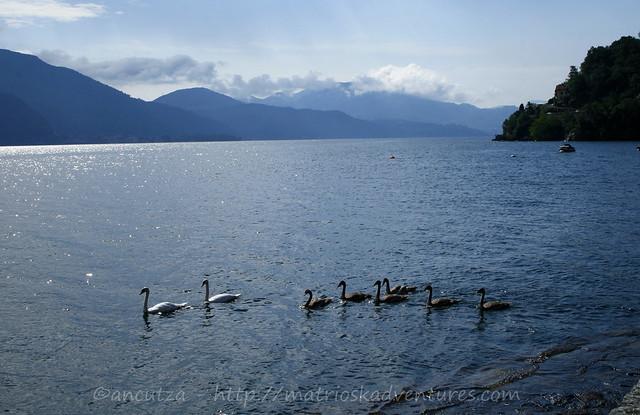 foto cigni sul lago maggiore italia