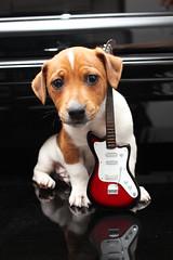 Woody Hendrix (María Granados) Tags: dog cute rock puppy rockstar guitar guitarra perro cachorro jackrussell jackrussellterrier
