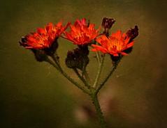 Orange Hawkweed (Chrissie28IWish! ~ hubby passed away 5th Dec peace) Tags: wild orange brown laura flower green texture floral closeup petals stem stamens stalk hawkweed