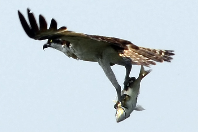 osprey catching fish four