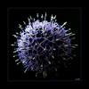(0551) Blaue Kugeldistel - Echinops (EnDe53) Tags: ennodernov mygearandme mygearandmepremium mygearandmebronze mygearandmesilver gearandmebronze