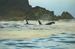 "_DSC7651 ""Orca Pair-a-dice""      3.8k (ChanHawkins) Tags: orcas killerwhales queencharlottes haidagwaii anawesomeshot kindakun orcapairadice"