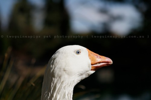 Swan-like by twoguineapigs pet photography | bird photography
