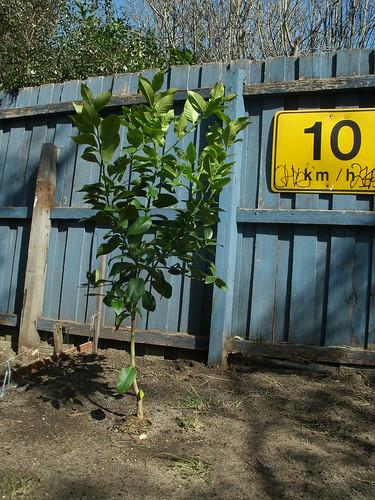 Our 5th lemon tree