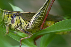 "grasshopper leg and body detail • <a style=""font-size:0.8em;"" href=""http://www.flickr.com/photos/30765416@N06/6130146098/"" target=""_blank"">View on Flickr</a>"