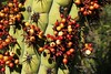 Tristerix aphyllus (frutos) (Carlos Ivovic O.) Tags: florachilena loranthaceae quintral plantasparásitas parquenaturalaguasderamón