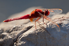 Crocothemis erythraea  (macropoulos) Tags: red topf25 scarlet 500v20f dragonfly animalia arthropoda gettyimages darter odonata libellulidae insecta anisoptera erythraea canoneos5d extensiontubes crocothemis canonef70200mmf4lusm 30faves30comments300views gettyimages:date_added=20120223