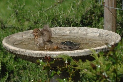 1calif towhee bath joe oliver wc