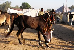 Horse at Nagaur Cattle Fair