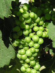 Young Chardonnay (eyriel) Tags: green vineyard cluster vine winery grapes grape
