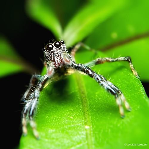 Jump Spider by Zackri Zim'S
