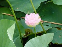 Lotus flower ready to bloom (berduchwal) Tags: lotusflower nelumbonucifera
