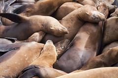 bunch of sea lions (roffoc*) Tags: sleeping sea fish cute animal buch sleep many lot lions focas