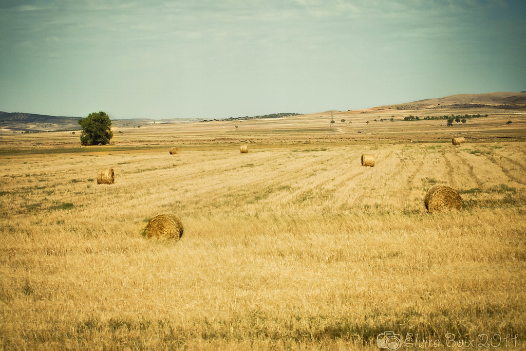 Campo amarillo/ Yellow field