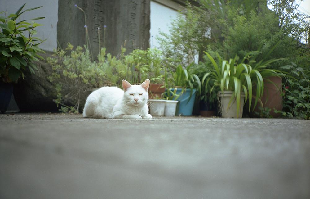 お寺の白猫