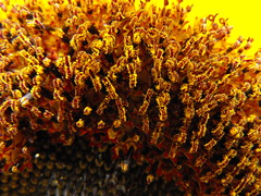 DSCF3673 (seventimes1) Tags: macro closeup sunflower