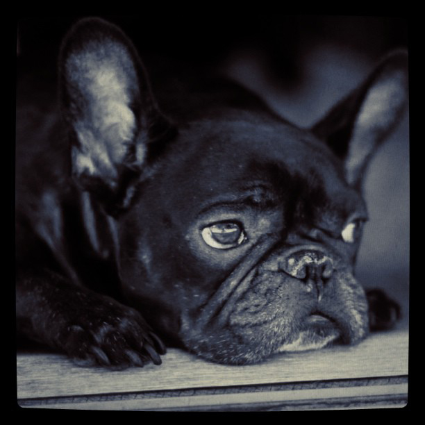french bulldog, pug, cat, black cat, black frenchie, pug, dogs, cats, pets, LeRoy black and white