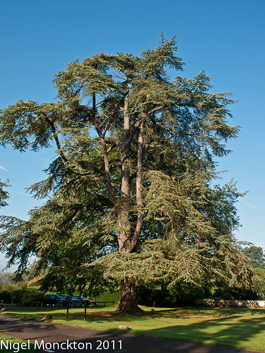 1000/533: 19 August 2011: Cedar tree? by nmonckton