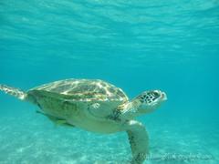 Snorkeling with Mr Sea Turtle! (Shenanigans in Japan) Tags: ocean sea nature japan canon island photography underwater turtle diving snorkeling housing  okinawa  tokashiki waterproof kerama   s95