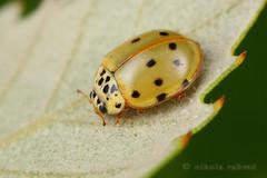 Yellow ladybird (Nikola Rahme) Tags: macro nature beetle croatia ladybird handheld coleoptera coccinellidae canoneos5d diydiffuser canonmpe65mmf28 minoltat2400twinflash