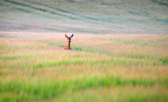 Curious roe deer - BEST VIEWED LARGE (Alan MacKenzie) Tags: summer england field animal mammal sussex wheat doe deer curious roedeer southdowns alanmackenzie