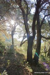 Mediterranean oak forest (Marlis1) Tags: trees forest spain catalunya oaks terraalta holmoak encina quercusilex steineiche carrasca chnevert mediterraneanforest marlis1 hollyoak buchengewchse yeuse