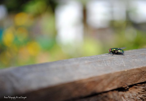 Green Bottle Fly 1