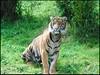 Looking To Play (zenseas : )) Tags: zoo tiger tacoma sumatrantiger pointdefiance enrichment pointdefiancezoo criticallyendangered pantheratigrissumatrae
