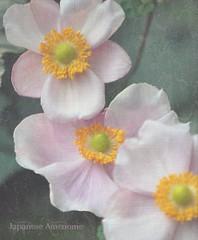 Japanese Anemones (♥ Mary Moore) Tags: macro manhattan ngc anemone mywinners awesomeblossoms amazingdetails bestofmywinners silveramazingdetails blinkagain eonsfp bestofblinkwinners