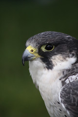 Bird of prey (Wilamoyo) Tags: bird prey beak predator feathers eye bokeh