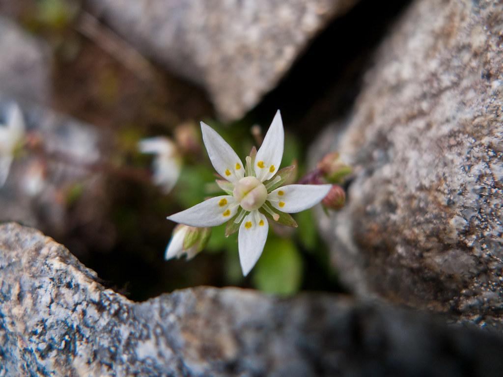 Flora i fjellet