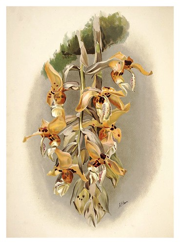 010-Stanhopea ShuttleworthiiReichenbachia-Orchids illustrated and described..Vol I-1888-F.Sander