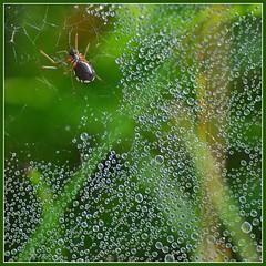 DSC_0401 (Bargais) Tags: macro bug insect spider drop latvia dev latvija