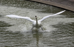 Swan landing (richcovephotography) Tags: lake water swan wings august spray landing swans skid wow1 wow2 2011