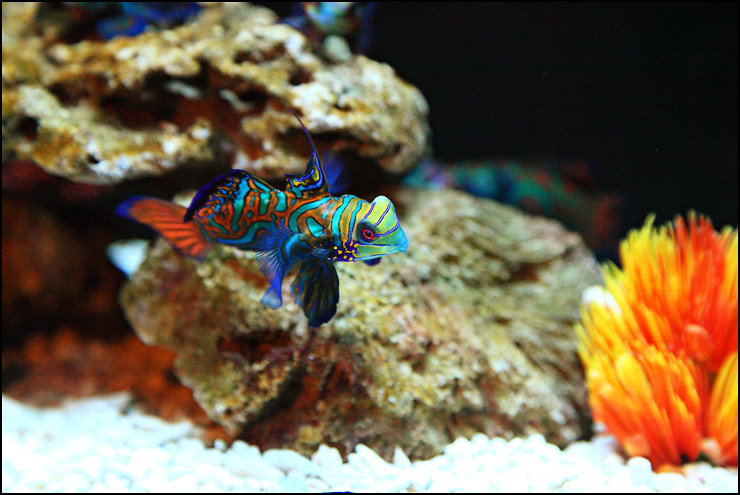 green-mandarin-fish