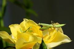 Buddies? (prayerfriends) Tags: roses black nature rose yellow prayingmantis enemies californiagreen altavillecaliforniaaltaville