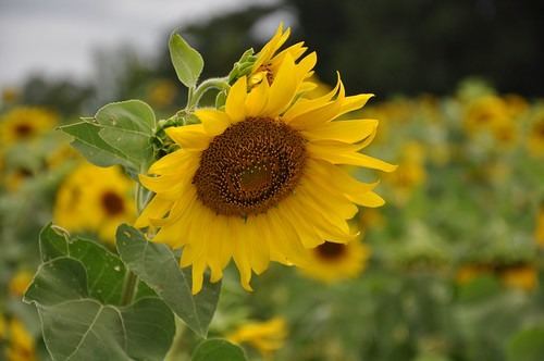 Carthage Sunflowers