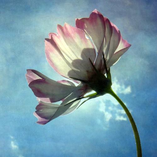 フリー写真素材, 花・植物, 秋桜・コスモス,