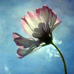 [フリー画像] 花・植物, 秋桜・コスモス, 201109050700